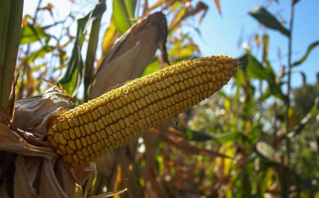 кукуруза гибрид P0216 семена