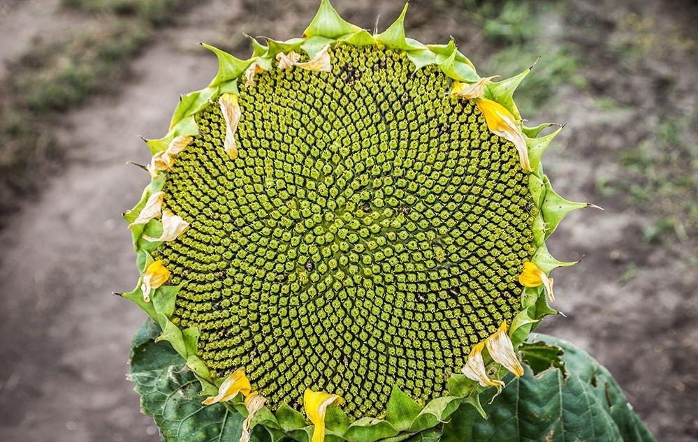 Семена подсолнечника P64ГГ106 купить