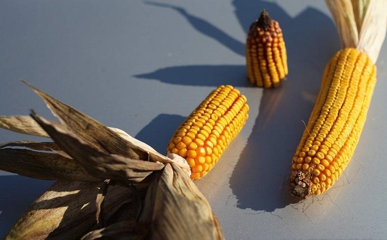 Кукурудза гібрид Р8816 насіння