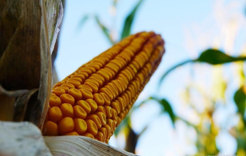Кукурудза гібрид Р9241 насіння