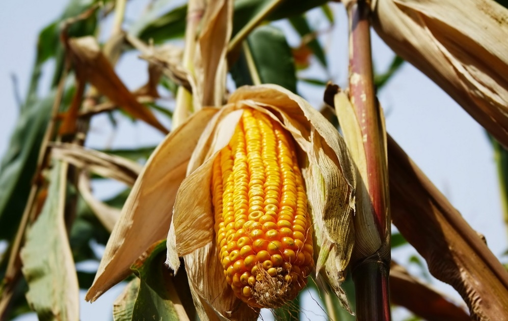 Кукурудза гібрид Р9903 насіння