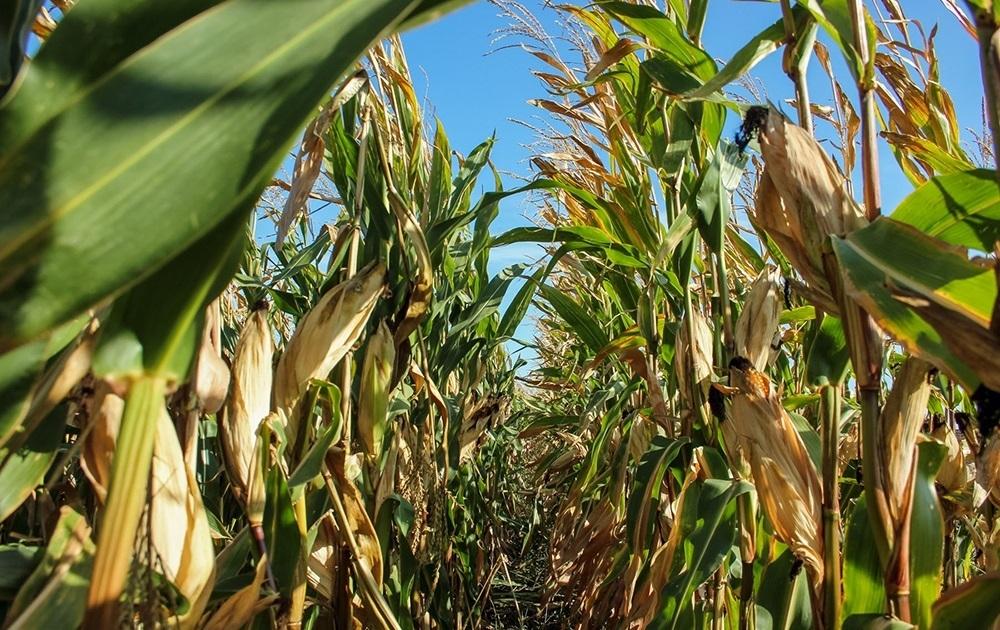 кукуруза гибрид P9903 AQVA семена