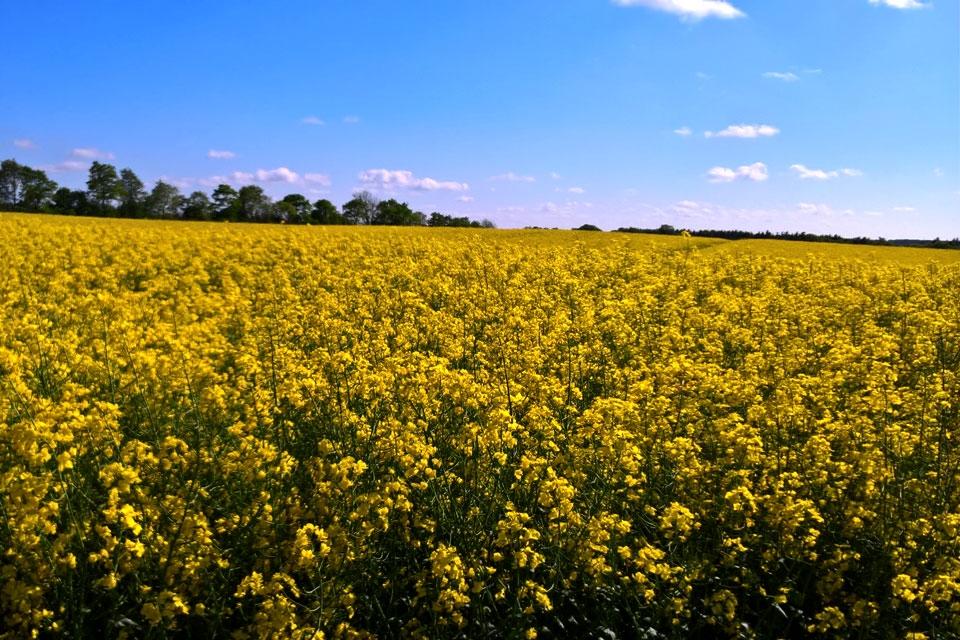 Семена рапса ПХ113 купить в Украине, описание гибрида, отзывы, цена, доставка
