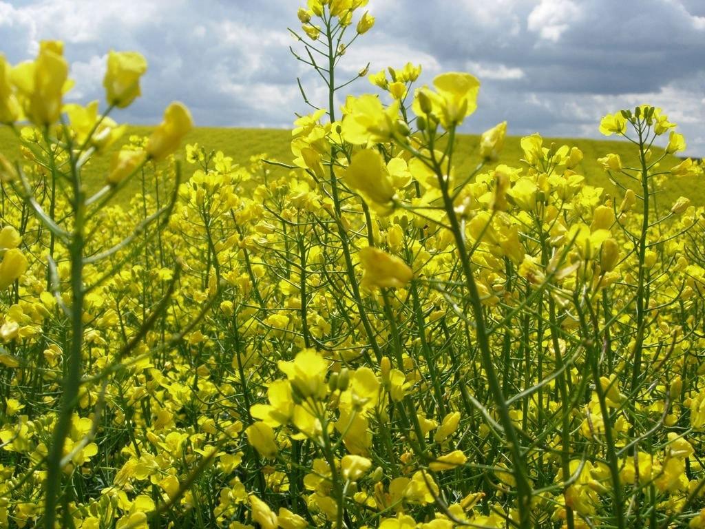 Семена рапса ПХ125КЛ купить в Украине
