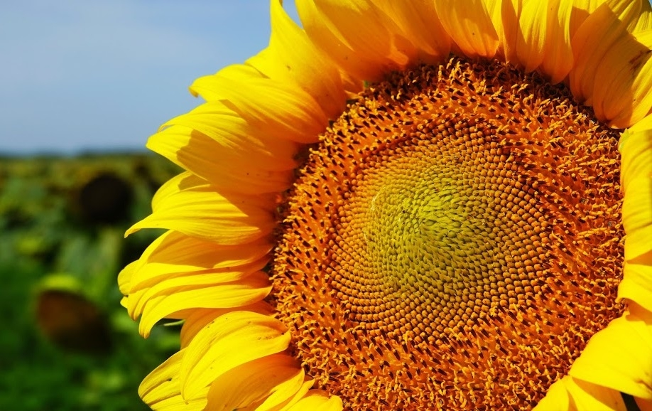 Насіння соняшнику P62LL109 купити