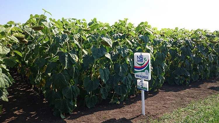 Подсолнух гибрид НС Х 2652 купить семена