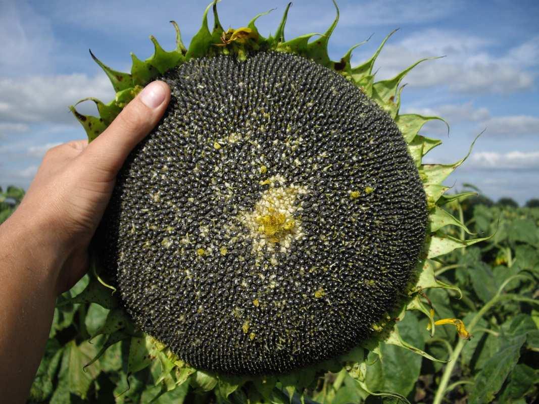 Семена Подсолнуха Сумо 2017 купить семена гибрид