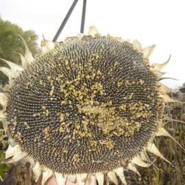 Подсолнух гибрид Таурус купить семена