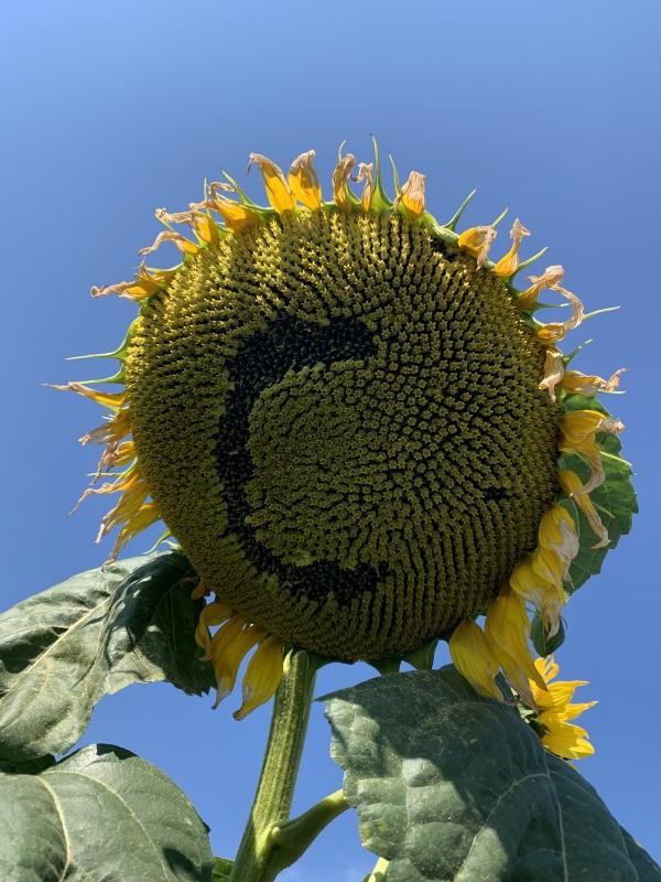 Гибрид подсолнечника Сонячный Настрий