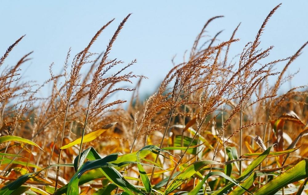 Кукурудза гібрид PR37Y12 насіння