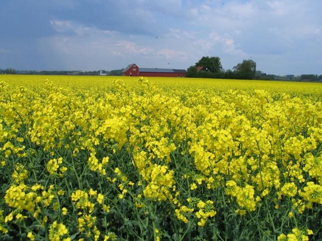 Семена рапса ПР44Д06 купить в Украине, описание гибрида, отзывы, цена, доставка