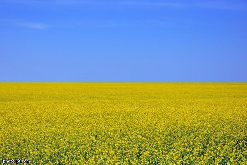 Семена рапса ПР46В21 купить в Украине, описание гибрида, отзывы, цена, доставка