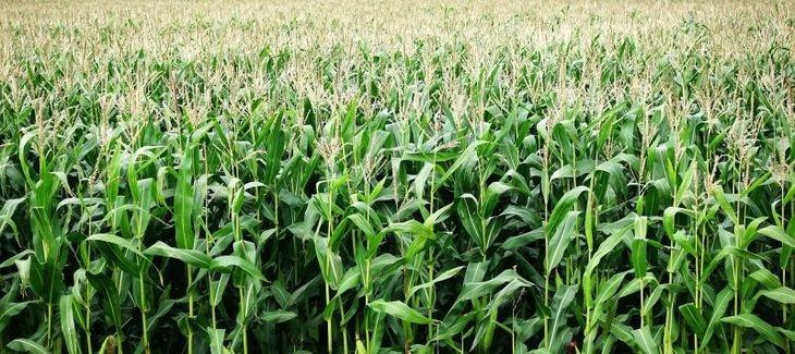Гибрид кукурузы ДМС Прайм
