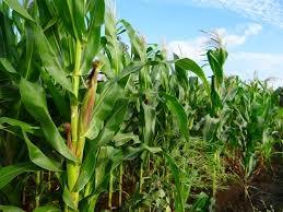 Гібрид кукурудзи премія 190 МВ