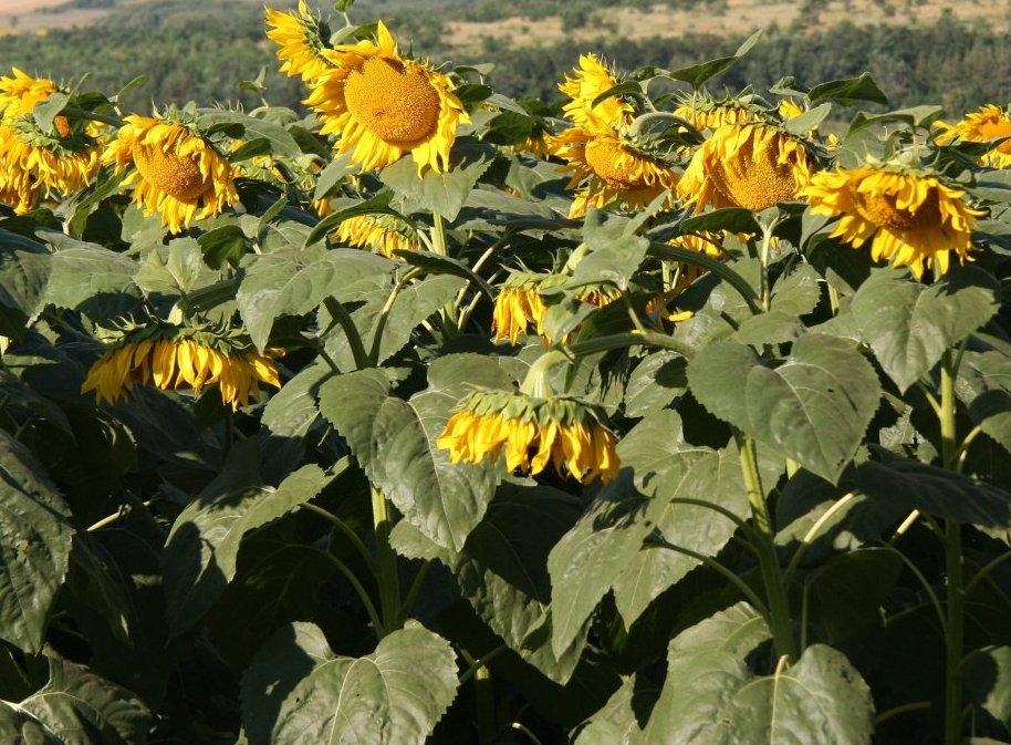 Подсолнечник гибрид PSF 4639 купить семена