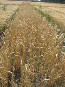 Посівна озима пшениця насіння сорт Фаворитка опис характеристика ціна купити в Україні