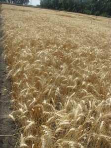 Посівна озима пшениця насіння сорт Куяльник опис характеристика ціна купити в Україні