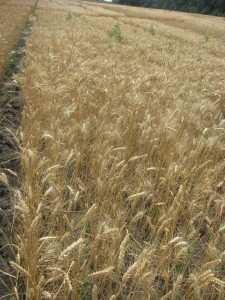 Посівна озима пшениця насіння сорт Кохана опис характеристика ціна купити в Україні