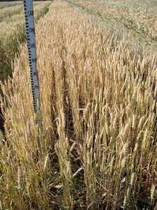 Посевная озимая пшеница семена сорт Овидий описание характеристика цена купить в Украине