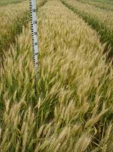 Посевная озимая пшеница семена сорт Смуглянка описание характеристика цена купить в Украине