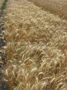 Посевная озимая пшеница семена сорт Благо описание характеристика цена купить в Украине