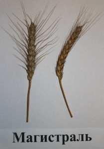 Посівна озима пшениця насіння сорт Магістраль опис характеристика ціна купити в Україні