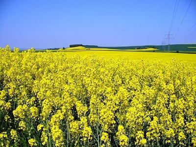 Семена рапса ПТ200КЛ купить в Украине