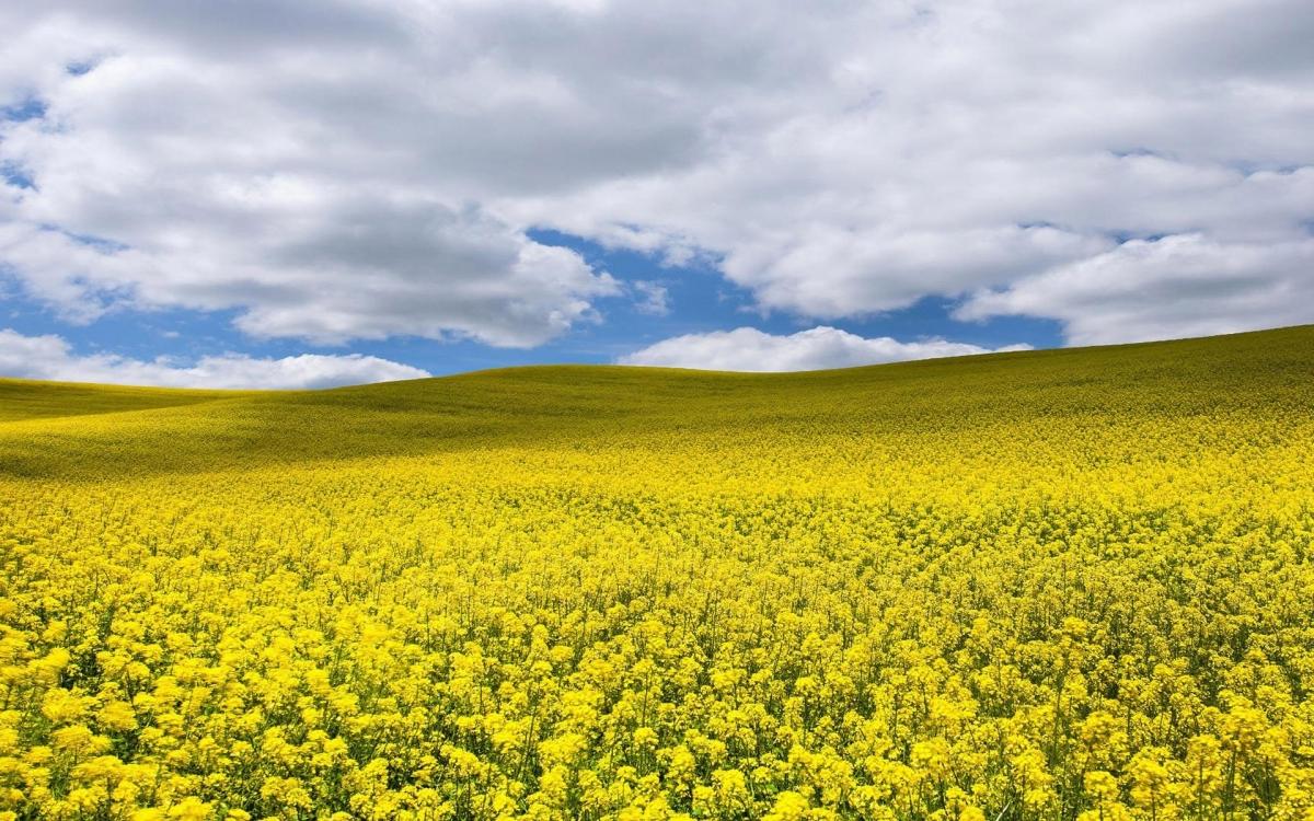 Семена рапса ПТ234 купить в Украине, описание гибрида, отзывы, цена, доставка