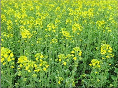 Семена рапса ПТ248 купить в Украине