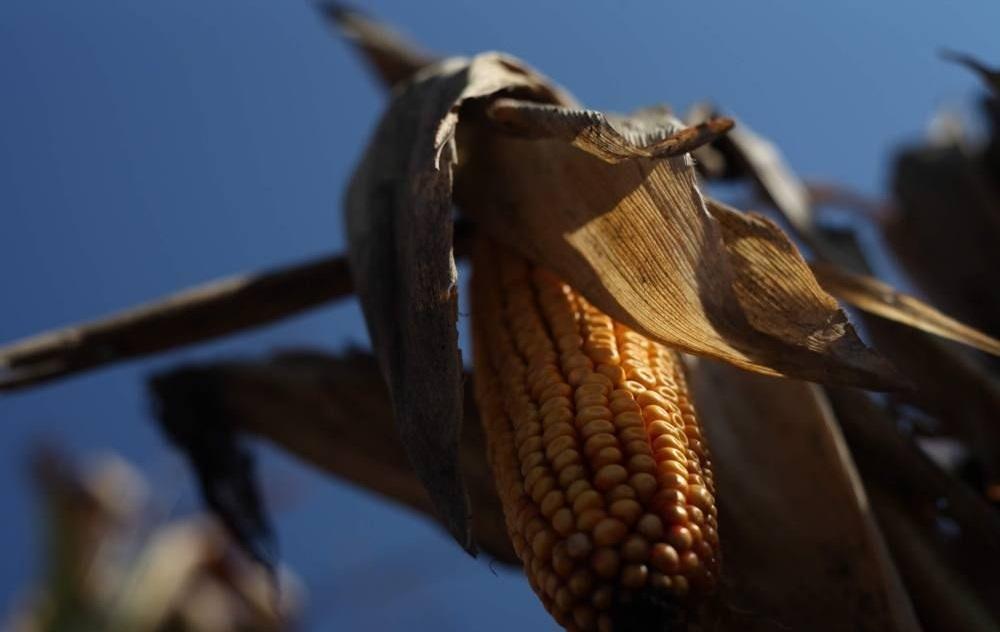 Кукурудза гібрид Р8025 насіння