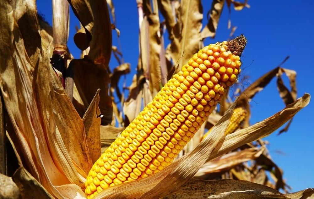 Кукурудза гібрид Р8521 насіння