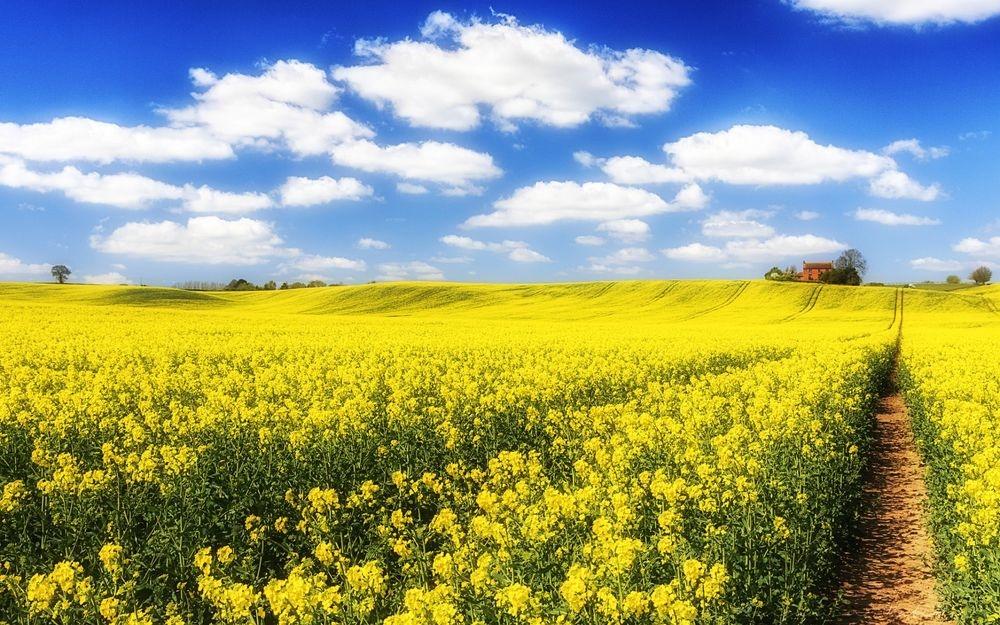 Семена рапса Рагнар (Лембке) купить в Украине, описание гибрида, отзывы, цена, доставка