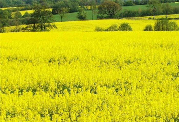 Семена рапса Блекстоун (ВНИС) купить в Украине, описание гибрида, отзывы, цена, доставка