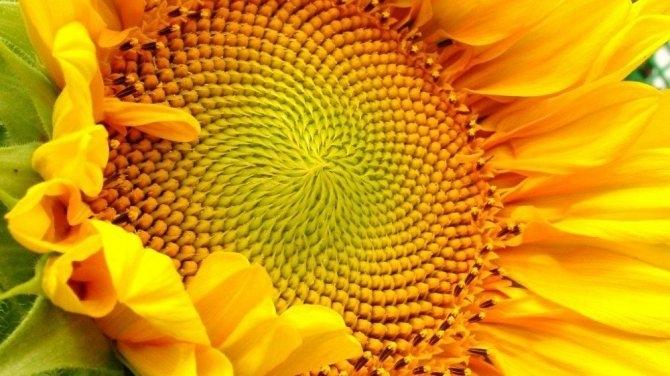 Семена подсолнечника Равелин