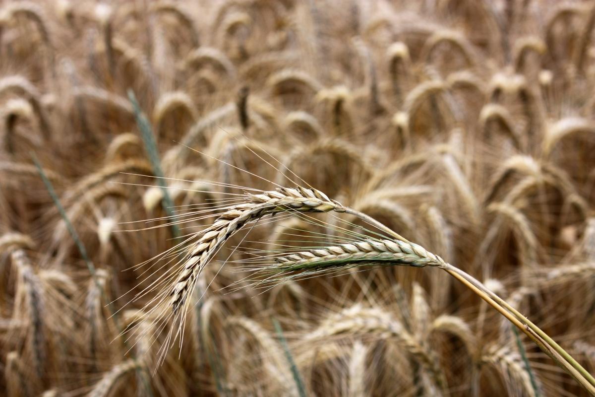 Насіння жита озимого Хлібне купити в Україні