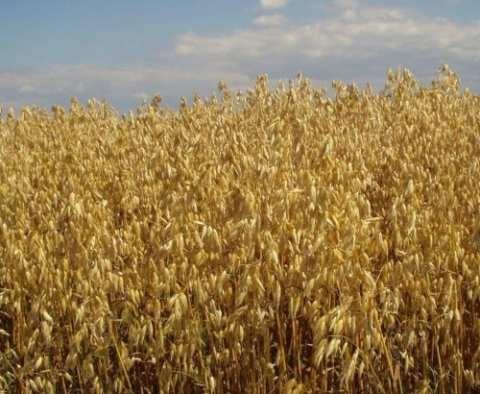 Семена овса сорт Соломон купить в Украине