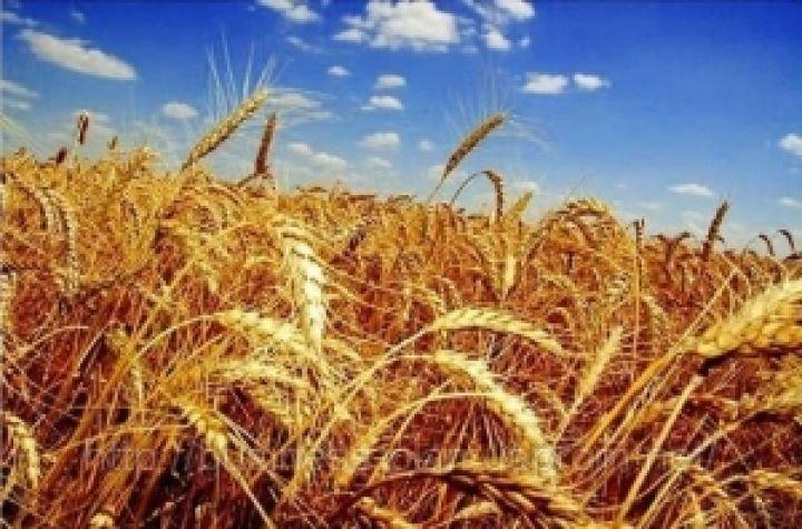 семена сербской пшеницы, описание сортов, купить в Украине