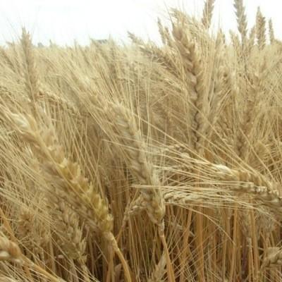 Посевная озимая пшеница семена сорт Шестопаловка описание характеристика цена купить в Украине