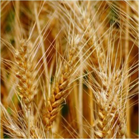 Яровая пшеница сорт Недра в Украине
