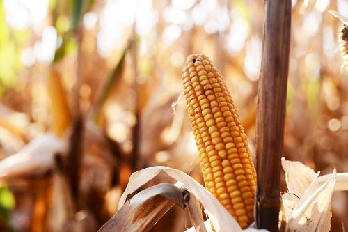 Гибрид кукурузы Спайси КС