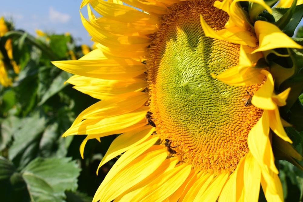 Насіння соняшнику Старобельський ОР