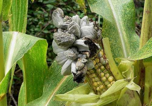 Стаття - Страшний ворог пухирчаста сажка кукурудзи. Ознаки ...