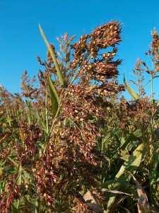 На фото суданська трава сорт Миронівське-10