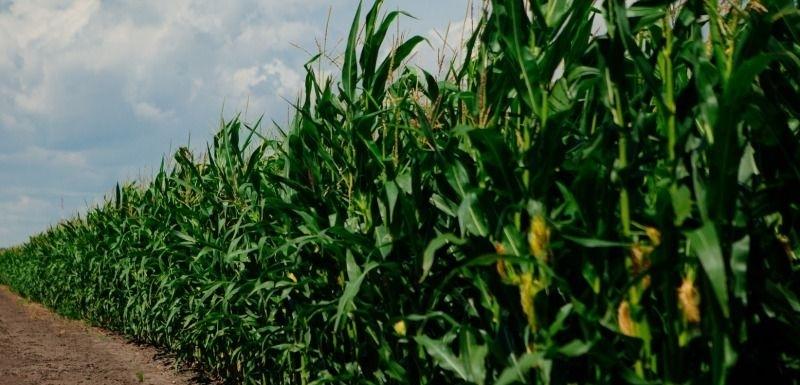 Гибрид кукурузы Теадор