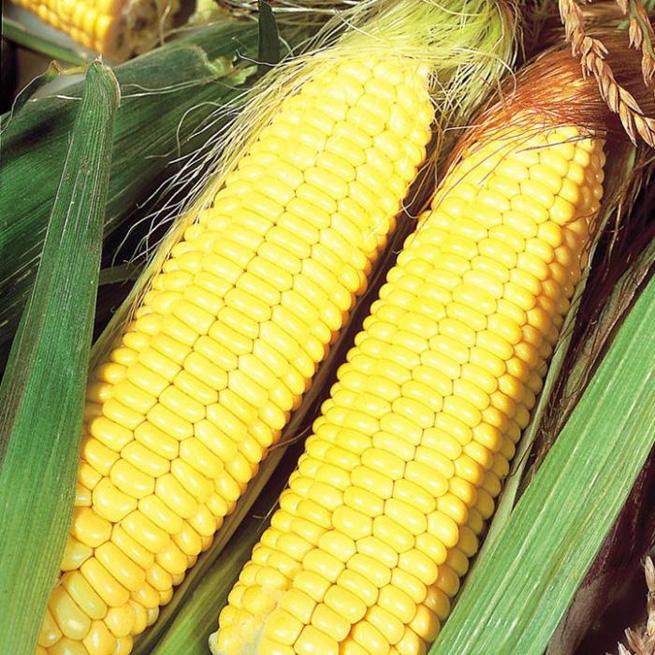 кукурудза гібрид НК Пако в Україні