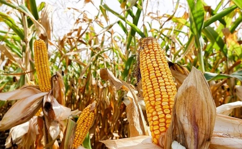 Гибрид кукурузы ДМС Тренд
