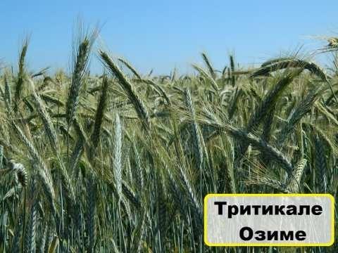 Семена тритикале озимого сорт Гарне купить в Украине
