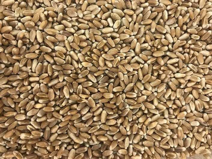 Фото твердая пшеница