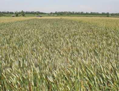 Посівна озима пшениця насіння сорт Босфор опис характеристика ціна купити в Україні