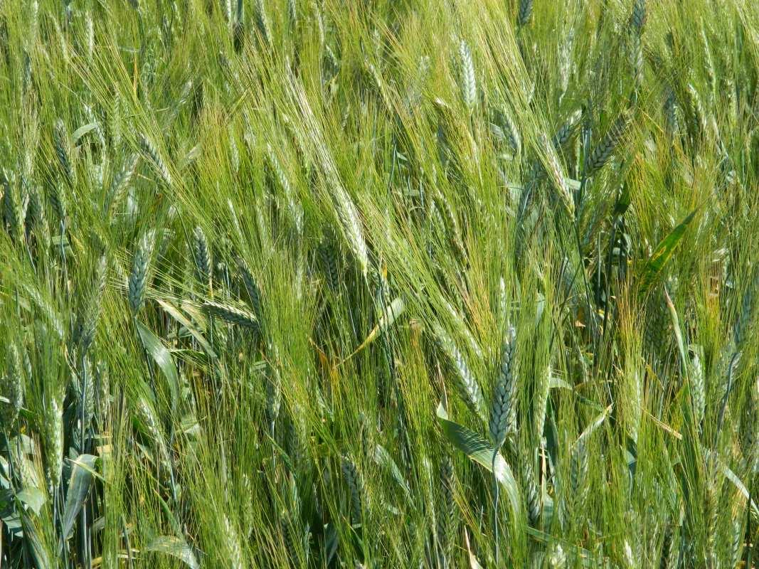 Твердая Пшеница